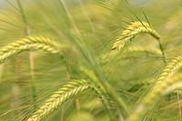 Barley (Hordeum vulgare) in a field