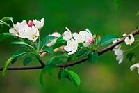 spring flowers of sakura at the tree