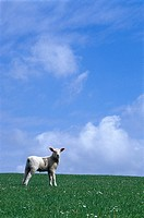 Paschal lamb on a meadow, Northern Frisia, Schleswig Holstein, Germany, Europe