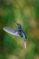 Hummingbird hovering, Violet Sabrewing, Campylopterus hemileucurus, Costa Rica, Central America