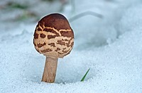 Parasol Mushroom through snow  Macrolepiota procera