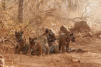 Tigress with cubs Panthera tigris sitting , Ranthambore National Park , Rajasthan , India