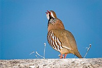 Common partridge, Alectoris rufa, Spain, Mallorca, Balearic Islands