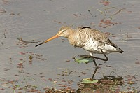 Bird , Black _tailed Godwit Limosa , Ranthambore Tiger Reserve National Park , Rajasthan , India