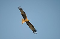 Black Kite (Milvus migrans), flying in the evening sun