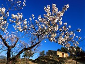 Country house with almond tree in blossom, Mallorca, Spain