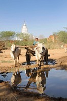 Ox cart with zebu cattle in a village near Bagan, a pagoda at the back, Myanmar, Burma, Southeast Asia, Asia