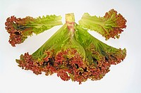 Vegetable , Lettuce Oak red leaf on white background