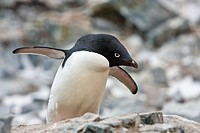 Adult Adelie penguin Pygoscelis adeliae on breeding colony on Petermann Island, Antarctica  There are an estimated 2 million breeding pairs of chinstr...