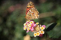 Lantana Flower and Indian Fritillary