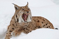 Lynx (Lynx lynx) in the snow with open mouth