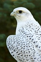 Gyrfalcon - Falco rusticolus - Adult - Captive - Wyoming