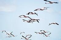 Birds , flamingo flying in blue sky