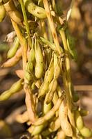 Farm of Soybeans crop , Beed , Maharashtra , India