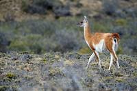 Guanaco (Llama guanicoe), Monte Leon National Park, Rio Gallegos, Patagonia, Argentina, South America