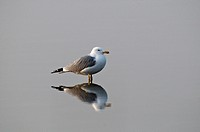 Yellow-legged gull (Larus michahellis) with reflection