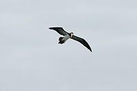 Bird, Alcatraz_pardo, Ilha do Mel, Encantadas, Paraná, Brazil