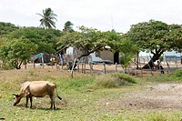 Animal, ox, cow, Atins, Maranhão, Brazil