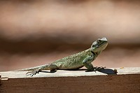 female Southern Tree Agama, Acanthocercus atricollis, sitting on beam, Uganda