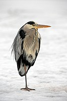 Grey Heron Ardea cinerea in winter