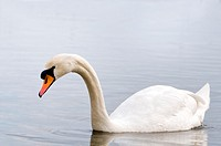 Mute Swan - Cygnus olor, Crete