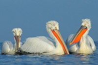 Dalmatian Pelicans (Pelecanus crispus) in breeding plumage, Lake Kerkini, Greece, January 2010