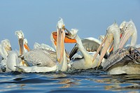 Dalmatian Pelicans (Pelecanus crispus) in breeding plumage, fed with the bycatch of fishermen Lake Kerkini, Greece, January 2010