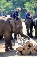 Thailand, Lampang region, Elephant at work