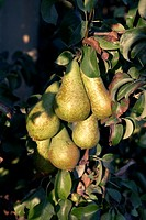 Pears Conference on a tree  LLeida  Spain