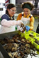 Azti-Tecnalia researchers selecting crabs, Mercabilbao fish wholesale market, Basauri, Bilbao, Bizkaia, Euskadi, Spain