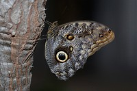 Owl Butterfly Caligo eurilochus, Bendorf, Rhineland_Palatinate, Germany, Europe