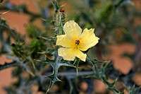 Yellow Horned Poppy,Glaucium flavum,Sturt Nationalpark,New South Wales,Australia,blooming