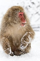 Japanese macaque or snow monkey Macaca fuscata, winter, Japan, Asia