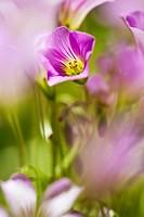 Oxalis articulata, pink wood sorrel. Valencia. Spain