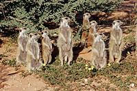 Meerkats (Suricata Suricatta), South Africa