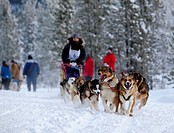 Female long distance musher Michelle Phillips, running sled dogs, Alaskan Huskies, dog team, Carbon Hill dog sled race, Mt. Lorne, near Whitehorse, Yu...
