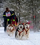 Running sled dogs, dog team, Siberian Huskies, Carbon Hill dog sled race, Mt. Lorne, near Whitehorse, Yukon Territory, Canada