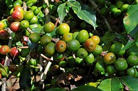 Ripe and unripe coffee berries growing on a tree, Jimma, Kaffa Region, Oromiya, Ethiopia, Africa