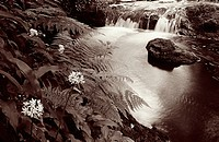 Mountain stream with wild garlic plants, Greenock, Scotland