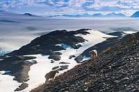 Two Mountain Goats stand on a mountainside with Harding Icefield in the background, Kenai Fjords National Park, Kenai Peninula, Southcentral Alaska, S...
