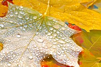 Fall leaves covered in water droplets