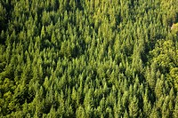 Evergreen forest near Mount Hood (thumbnail)