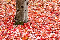 Pile of autumn leaves around tree trunk