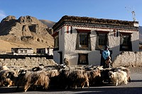 A herd of sheep and goats passing through a farming village in front of traditional Tibetan farmhouses with Sakya colouring, Tingri, Tibet, China, Asi...