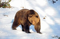 Brown Bear (Ursus arctos) in winter