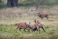 Red Deers (Cervus elaphus), fighting