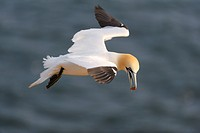 Northern Gannet Sula bassana in flight with a courting gift in its beak, red pebbles, North Sea, Heligoland, Schleswig_Holstein, Germany, Europe