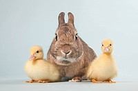 Two ducklings and rabbit, studio shot