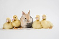 Four ducklings and rabbit, studio shot
