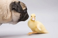 Pug dog and duckling, studio shot